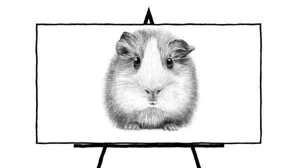 sketch of guinea pig
